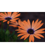 Orange Symphony Flower - Fine Art Print (8x12) - $14.99