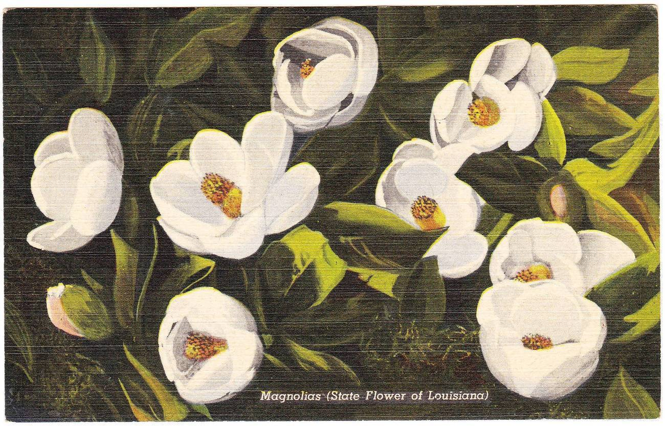 Vintage linen postcard magnolia state flower of louisiana la
