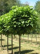 Catalpa tree qt. pot image 2
