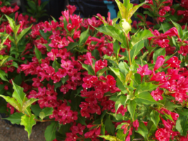 RUBY RED WEIGELA  (Weigela rubrun) image 1