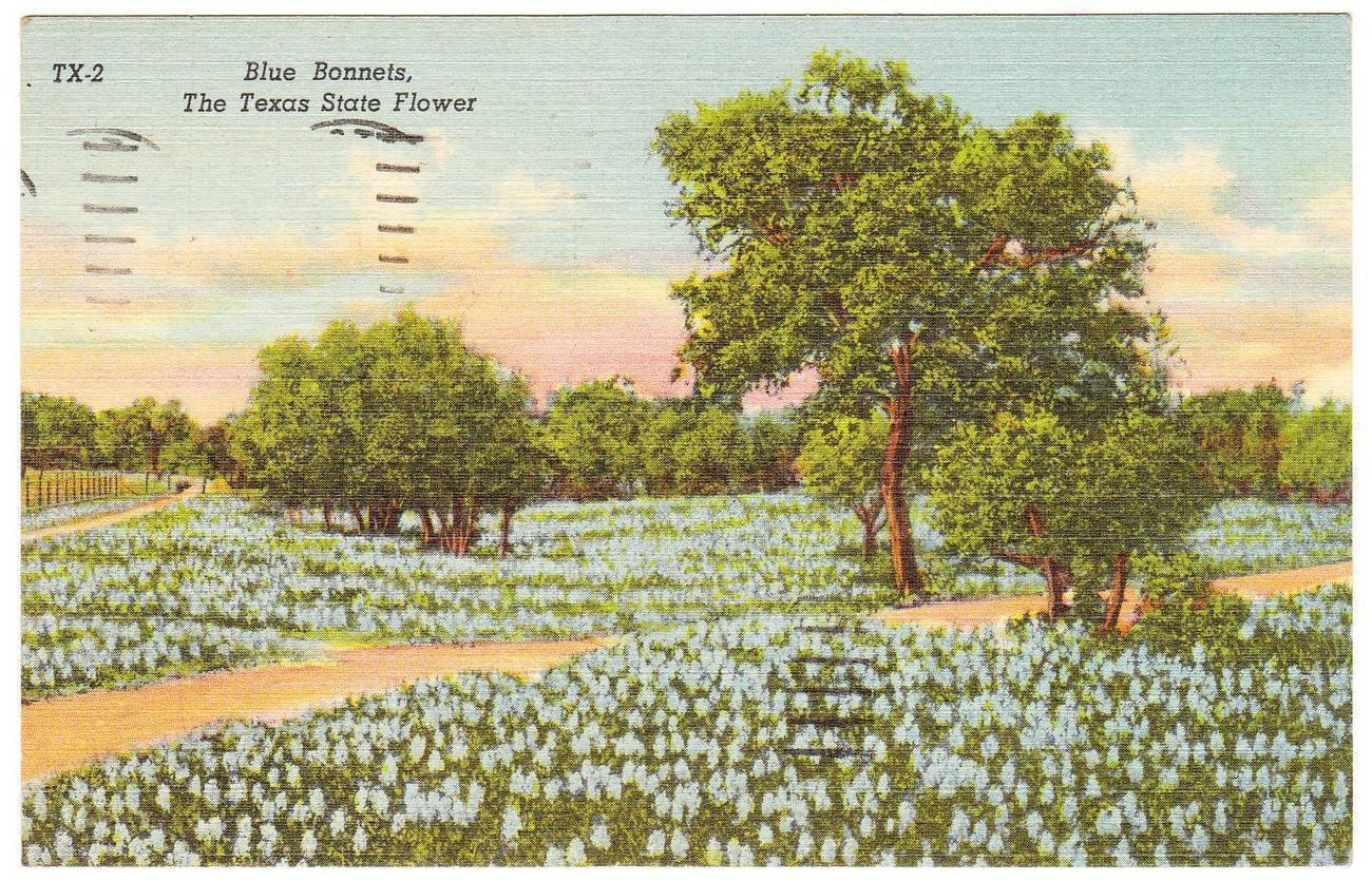 Vintage linen postcard bluebonnets texas state flower tx