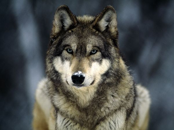 Primary image for Wolf Totem Family Loyalty Teaching Skill Wolves Totem Is Your Animal Spirit The