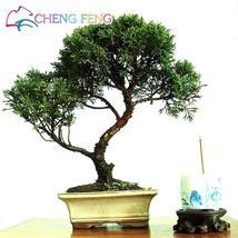 50pcs Cypress Trees Platycladus Orientalis (3), HZ Beautiful Flower Seeds - $8.89