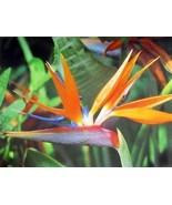 HAWAIIAN ORANGE BIRD OF PARADISE SEEDS ~ GROW H... - $3.46