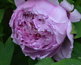 5 pcs Peony Purple European Rose-typed Flower Seeds Strong Fragrant  - $13.93