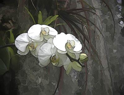 Whiteorchidsized