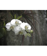 White Orchid, Photo Based Digital Art, 11x14, orchid, flower - $30.00