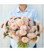 King Size Apricot China Aster Seed  /  Aster Flower Seeds - $12.00