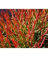 "SHIP From US, 6"" pot FIRE STICK EUPHORBIA TIRUCALLI, succulent plant cac... - $81.99"