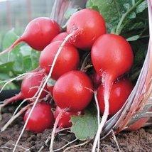 1 Oz Seeds of Cherry Belle Radish Conventional & Organic - $27.03