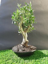 Olive tree Bonsai - very old plant - From the private collection - $264.00