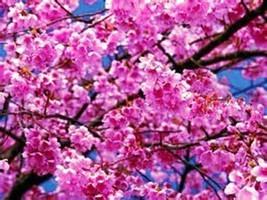 10pack Very Admirable Japanese Sakura Cherry Blossom Tree Seeds IMA5 - $17.99