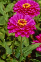 50 Seeds - Purple Prince - Zinnia Elegans Flower - $8.99