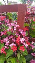 Clerodendrum thomsoniae Dicentra spectabilis Purple Bleeding Heart Live Plant  - $31.98