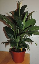 """Plant Peace Lily Spathyphyllium House Plant Indoor 6""""Pot Best Gift Home ... - $25.43"""
