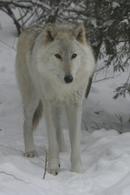 Timber Wolf 13 x 19 Unmatted Photograph - $35.00