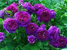 Image of Flower seeds Climbing Plants Climbing Roses Seeds 1 Lot 700 pcs