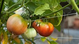 1 lb Seeds of Garden Peach Tomato (Red) - $178.20