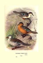 Colombian Torrent Ducks by Henrick Gronvold - Art Print - $19.99+