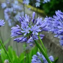 35 Pcs Seeds Dwarf Lily of the Nile - Agapanthus- Perennial HH01 - $15.99