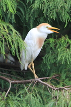 Cattle Egret 13 x 19 Unmatted Photograph - $35.00