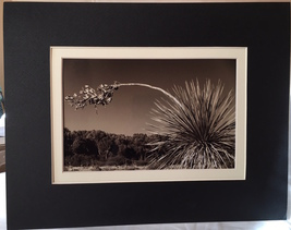 "Photograph: matted ""Leaning Yucca"" (metallic photo paper), 14""x11"" / 8.5... - $16.50"