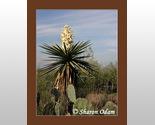 Wf 0118 yucca lrg thumb155 crop