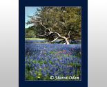 Wf 0075 bluebonnets lrg thumb155 crop