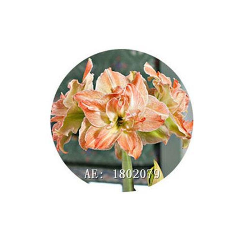 HAPPY FLOWER 2 Bulbs KAUMAN True Hippeastrum Rutilum Amaryllis Love Symbol