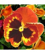 SHIP FROM USA Pansy Giant Flame Flower Seeds (Viola x Wittrockiana) 50+S... - $23.92