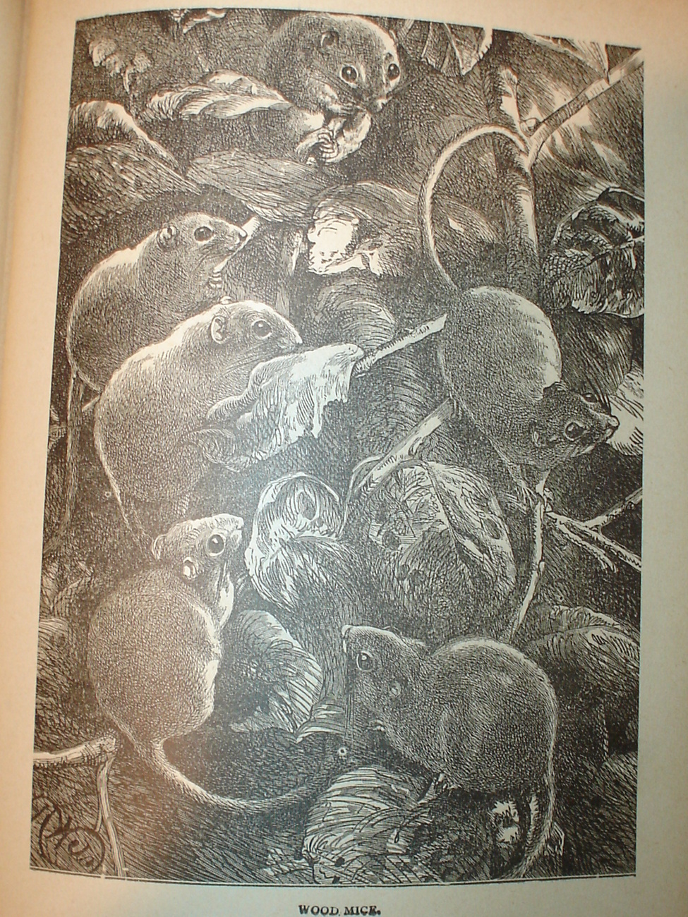 Originial 1899 Print of Mouse Party