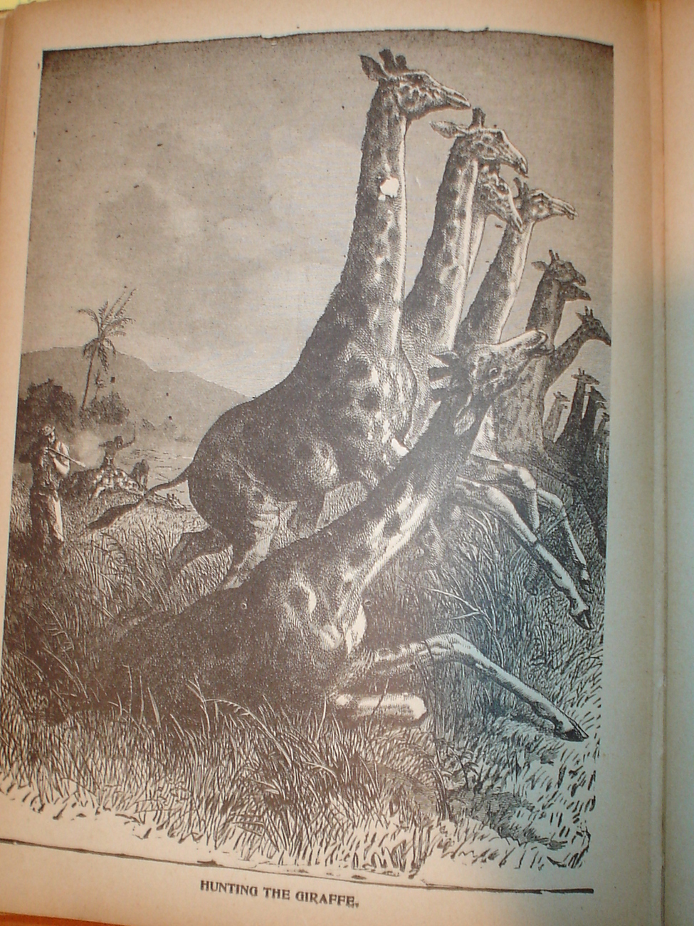 Original 1899 Print of Giraffes