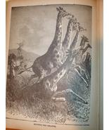 Original 1899 Print of Giraffes - $13.50