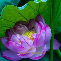1 seeds / pack, 'Bathing Beauty' Pink Lotus Flower Water Lily Flower Aquatic Pla - $6.43