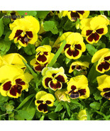 seed bag viola tricolor flower seeds pansy yellow spot seed bonsai potted.jpg 640x640 thumbtall