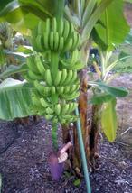 LARGE BUNCHES Grand Nain Chiquita Banana Tree Dwarf Live Banana Plant  - $42.59