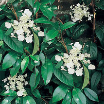 Starter Plant - Hydrangea Seemanii - $22.99
