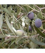 Arbequina Olive Tree Live Plant Cold Hardy Fruit Tree  - $38.99