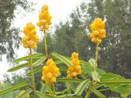 Candlestick Plant Candlebush Ringworm Cassia Shrub Medicinal Senna alata... - $8.25