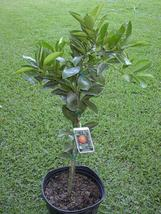 Washington Navel Orange Citrus Tree Live 3 gal.  - $55.99
