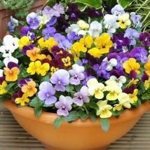 Elegant 4 Variety Mix Flower Seeds Viola Bambini #IMA47 - $14.99+