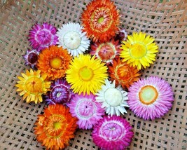 SHIPPED FROM US 600+DWARF STRAWFLOWER Paper Daisy MIX Colors Flower Seed... - $17.00