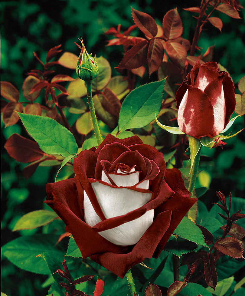 200Seeds Red Dragon Rose (Red Stripe Rose )Bush Flower Seeds ,amazing smell