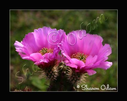 Cf 0071 cactus
