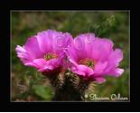 Cf 0071 cactus thumb155 crop