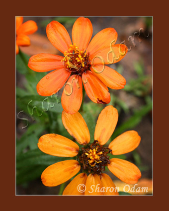Df 0043 orange zinnia