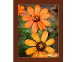 Df 0043 orange zinnia thumb155 crop