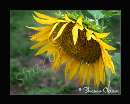 Sunflower - DF0051C - Fine Art Photography
