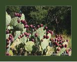 Cf 0098 1 cactuspear thumb155 crop