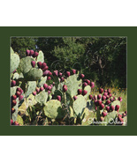 Texas Prickly Pear - CF0098-1C - Fine Art Photography - $17.50